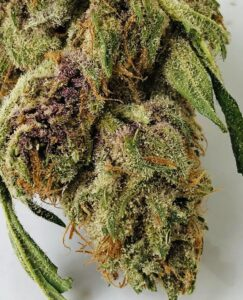 tip of lemon thai bud displaying gorgeous milky trichome crystals tangled clumps of rust colored pistils and green and purple leaf material