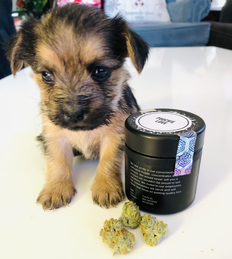 yorkie pup with buds of poochie love and culta container