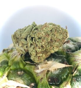 pineapple kush bud by hms resting ontop of a real pineapple